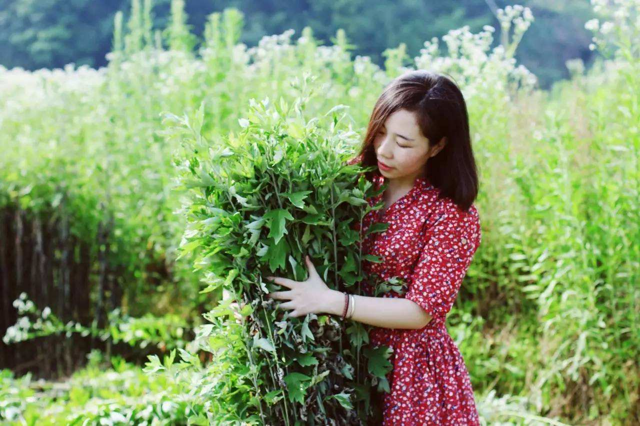 可食可挂可灸的纯阳仙草艾蒿